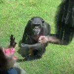 mov)JapaneseMonkey goes to Zoo+Chimps
